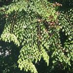 Pterocarpus indicus branch