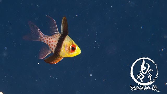 マンジュウイシモチの幼魚ちゃんはお肌キラキラ♪