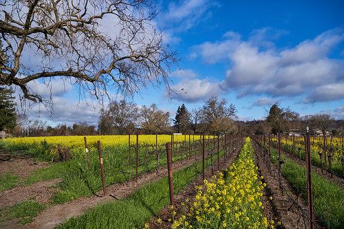 Mustard in Vineyard