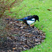 Magpie on the prowl, West Park