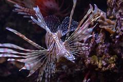 Gorgeous Lionfish