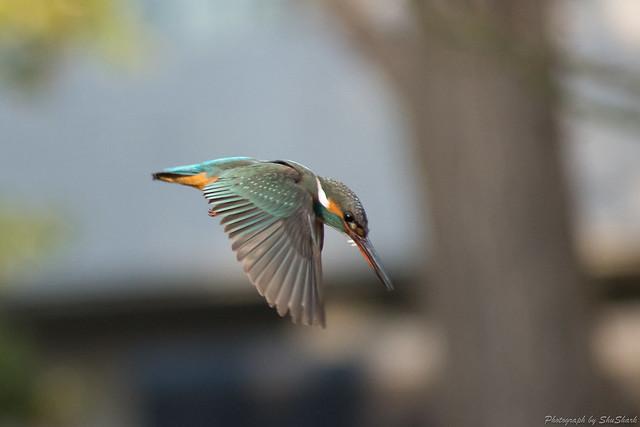 20180129-kingfisher-DSC_6391