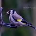 31 Goldfinch