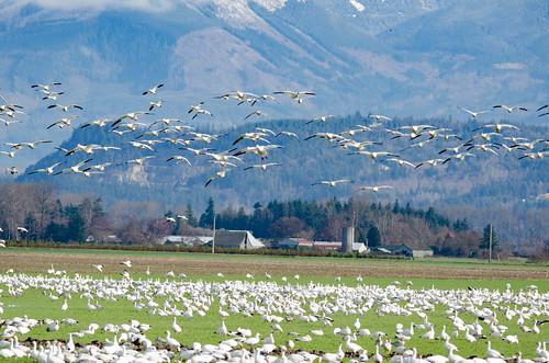 Fir Island Snow Geese-028