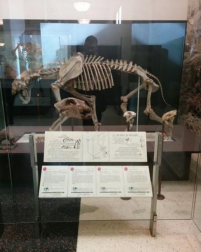 Cats #newyorkcity #newyork #manhattan #amnh #fossil #cats #catsofinstagram #mammal #extinct #americanmuseumofnaturalhistory #latergram