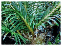 Stalkless, two-rowed green and strap-like leaves of Grammatophyllum speciosum (Giant Orchid, Tiger Orchid, Sugar Cane Orchid, Queen of the Orchids), Feb 27 2017