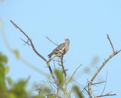 Bare-eyed Pigeon (Patagioenas corensis)