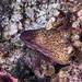 Yellowmargin Moray