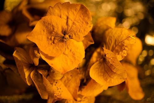 monotone hydrangea