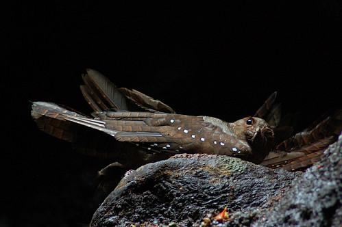 Oilbird 2015-06-06 (1)