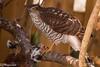 Spurvehauk (Accipiter nisus) og gråsisik (Carduelis flammea)