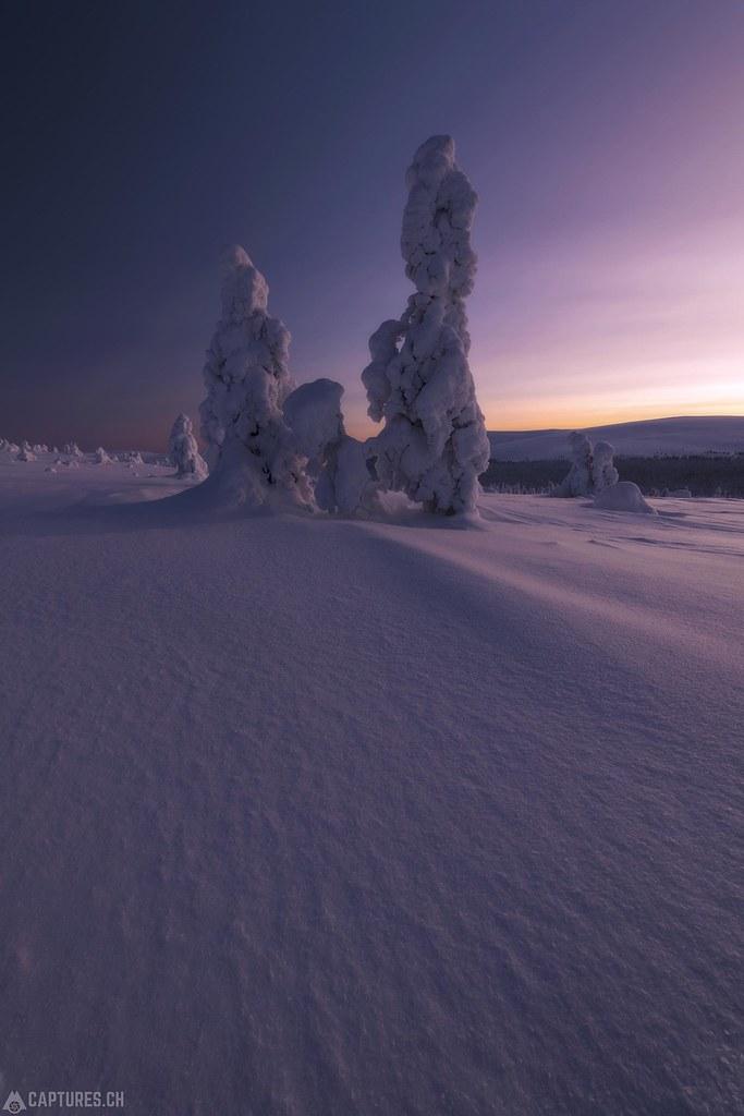 Trees - Lapland