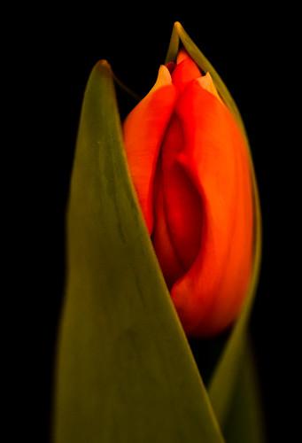 Tulip Emergent