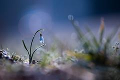 Le petit Galanthus