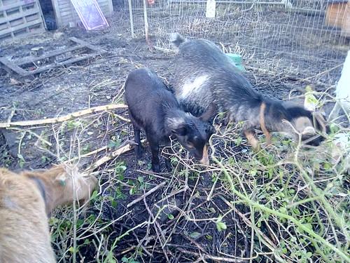 goats Jan 18 1