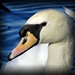 056/365 Swan Portrait