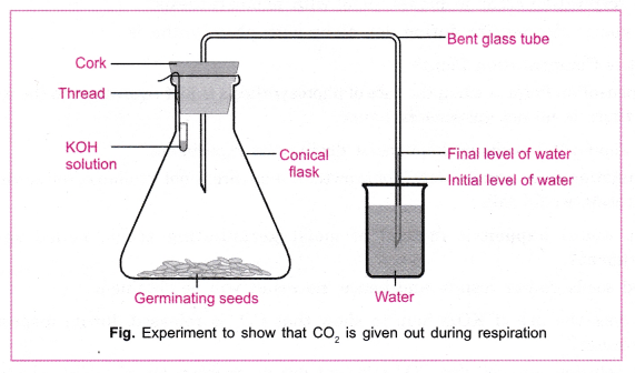 cbse-class-10-science-practical-skills-co2-is-released-during-respiration-4