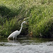 Great White Heron - Sandy Hook 04