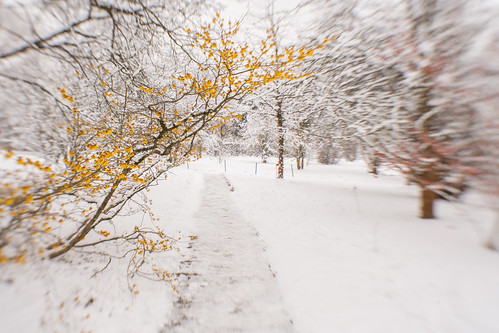 Witch Hazel in Snow