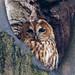Tawny Owl....