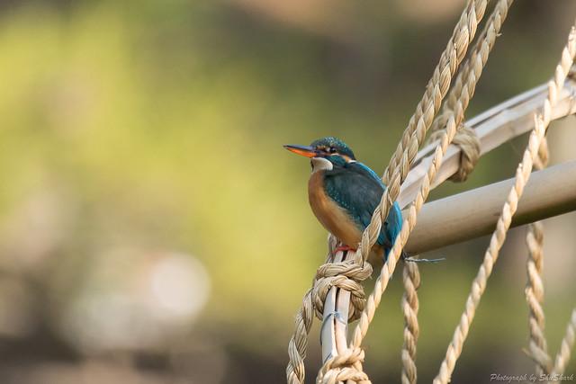 20180304-kingfisher-DSC_9556