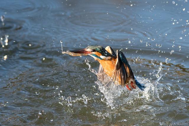 20180211-kingfisher-DSC_8142
