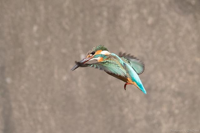 20180212-kingfisher-DSC_8963