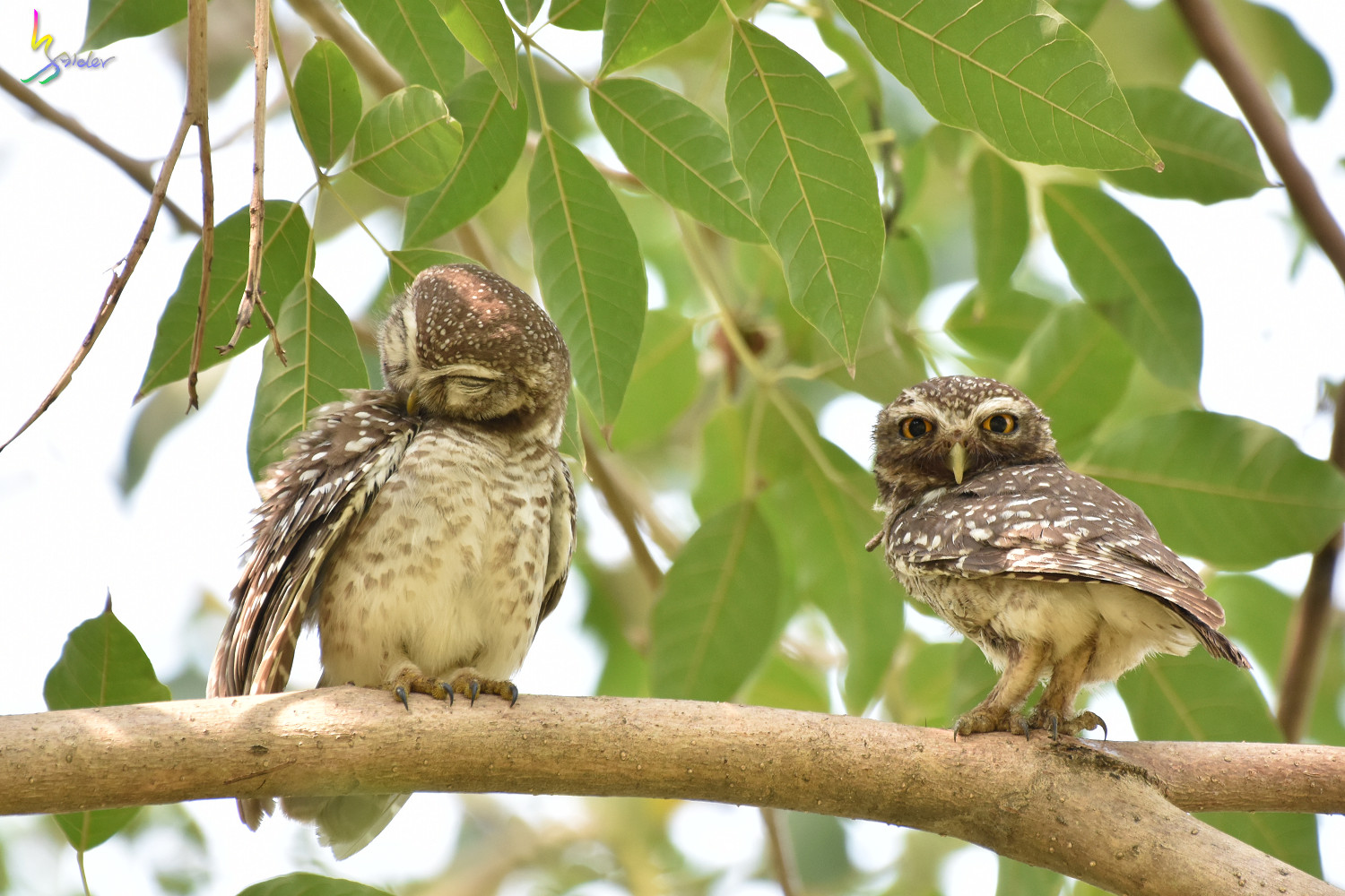 Spotted_Owlet_4452
