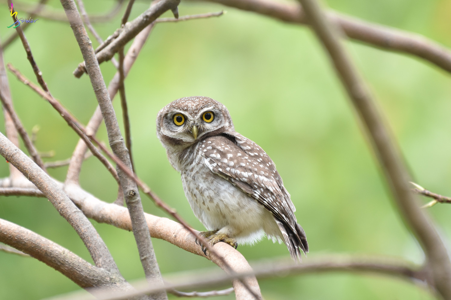 Spotted_Owlet_4073