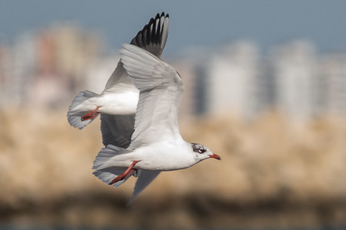 Mediterranean Gull - in flight