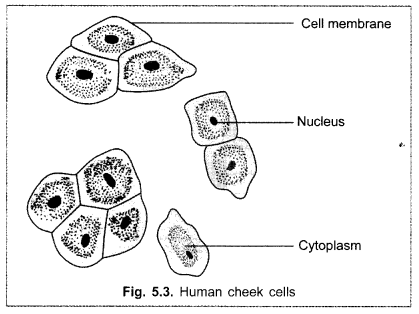cbse-class-9-science-practical-skills-slide-of-onion-peel-and-cheek-cells-4