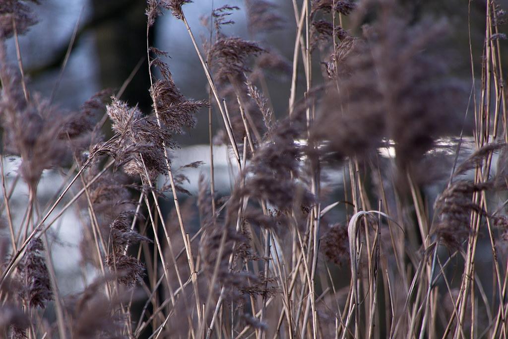 Winters riet - winter reed