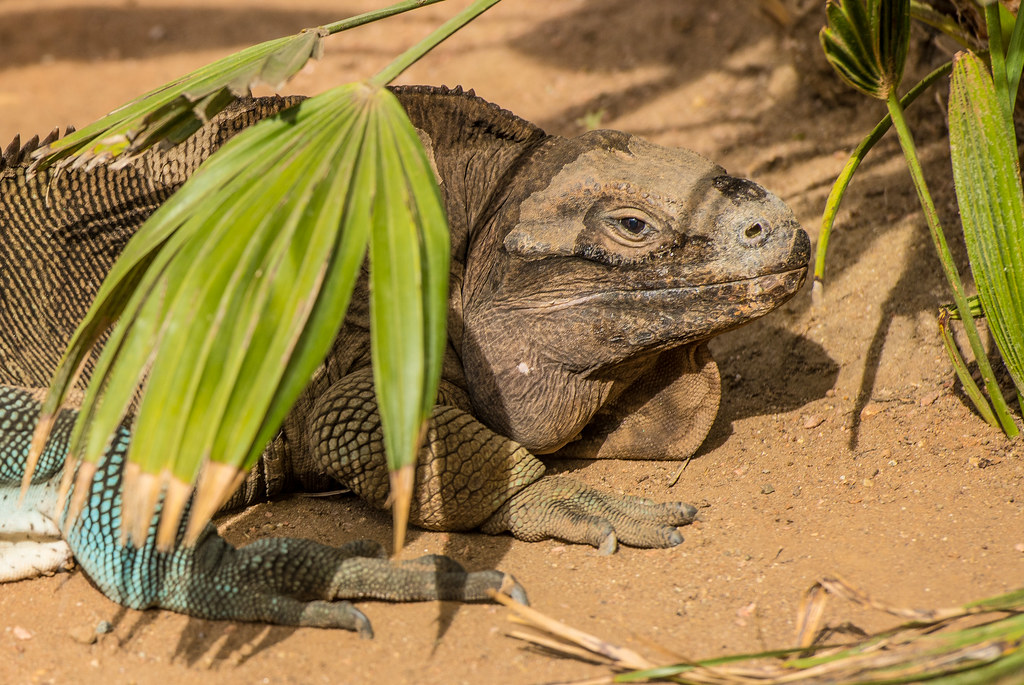 Anegada Ground Iguana_1