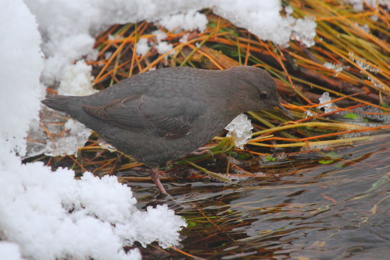 IMG_0013 American Dipper, Yellowstone National Park