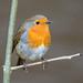 Robin at Etherow