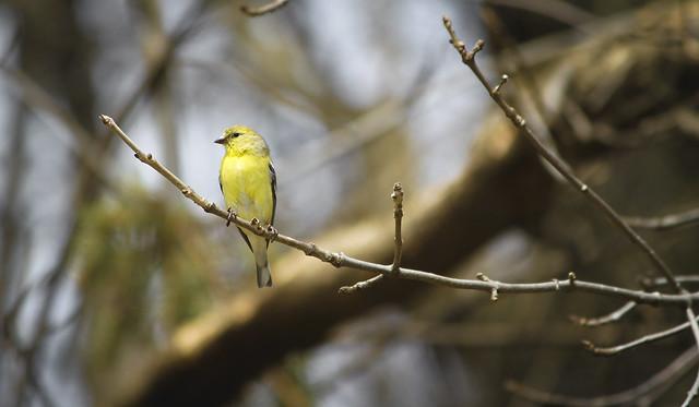 Goldfinch 2012