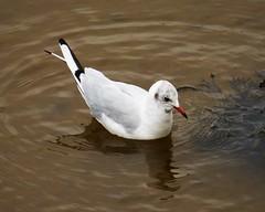 Black-headed Gull. Larus ridibundus. ...changing to winter plumage