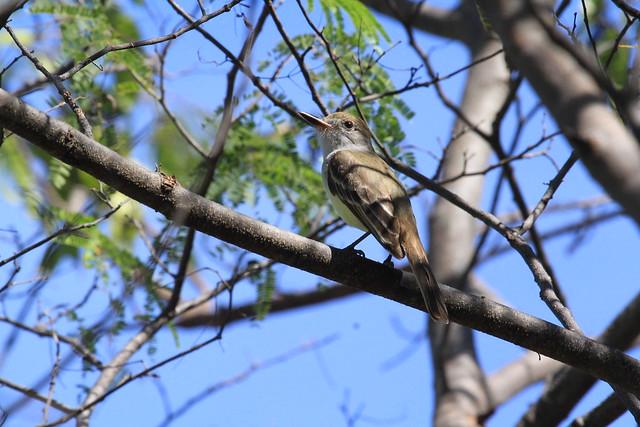 Brown-crested Flycatcher/Tyran de Wied/Myiarchus tyrannulus