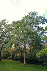 Simaroubaceae - Hemelboom