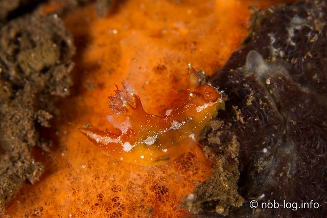 Plocamopherus maculapodium
