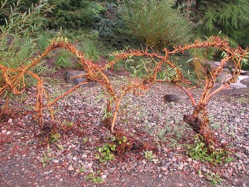 Salix 7 17 7 VanDusen