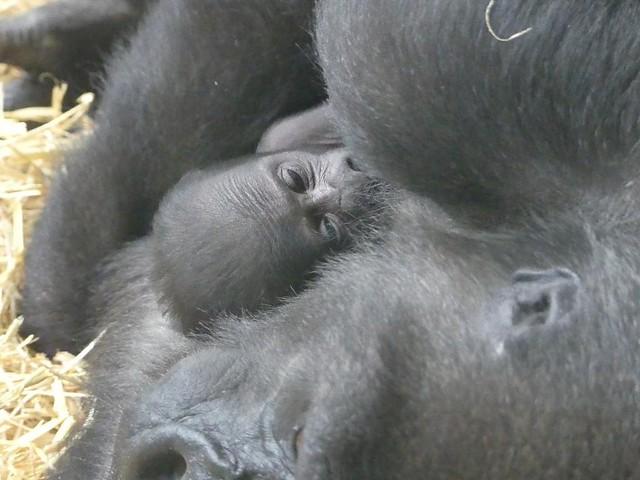 Tuanas Baby, Wilhelma