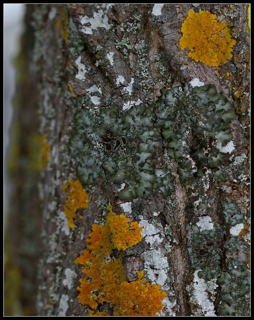 Parmelia acetabulum 39410557374_bc1359b745_z