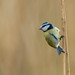 Bluetit perched on reed