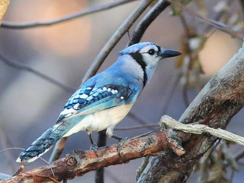 Blue Jay 2-20180215