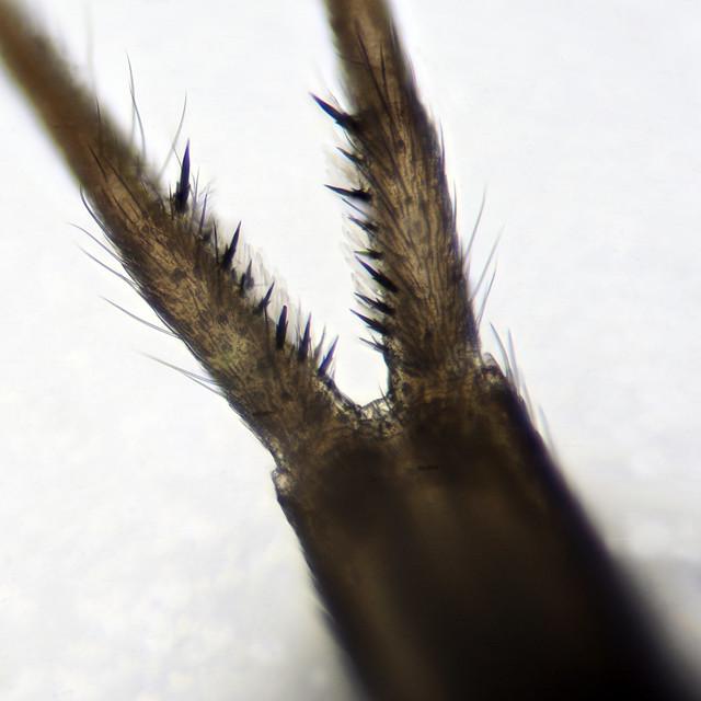 Tomocerus minor - Dens