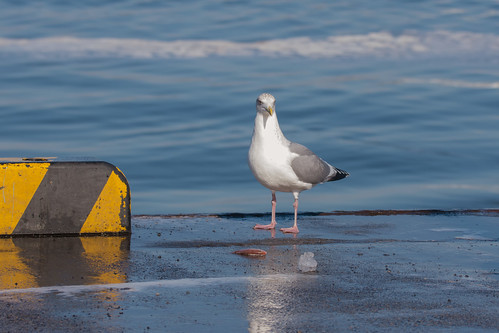 土, 2018-01-06 12:05 - セグロカモメ ー 銚子漁港