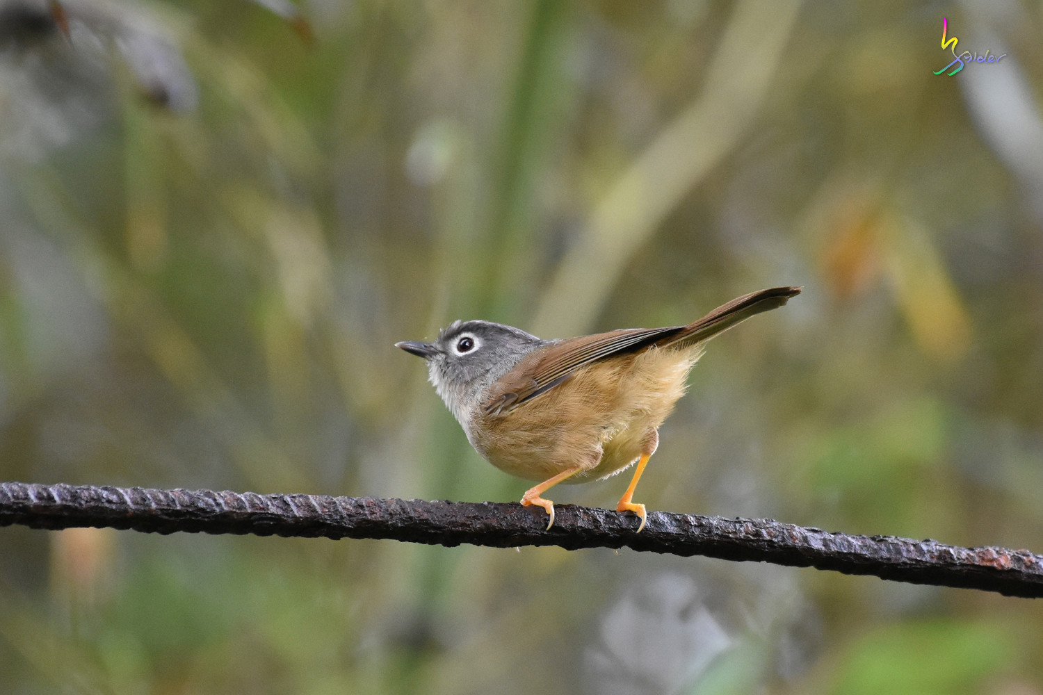 Grey-cheeked_Fulvetta_7205