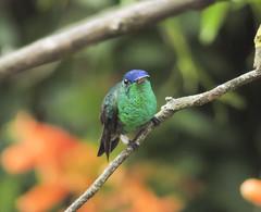 Indigo-capped Hummingbird (Amazilia cyanifrons)
