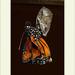 Danaus gilipus - Queen Butterfly
